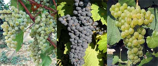 Serbian_cloned_grape_varietis