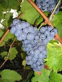 Vranac grape