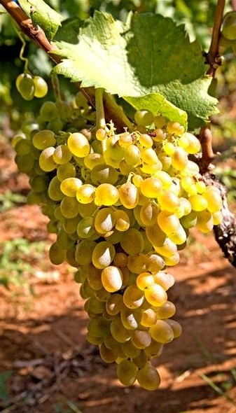 Posip Croatian Grape