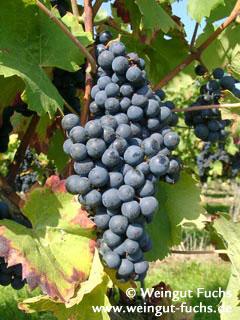 regent grape