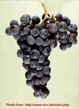 Grape warietis in Serbia