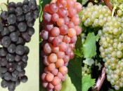 Regional grape
